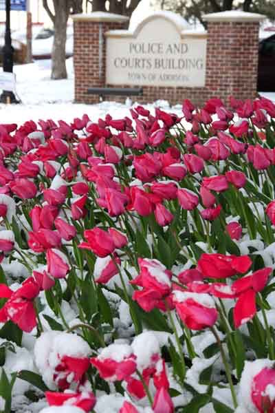 The tulips in Addison brighten up the landscape after the cold winter season. Photo courtesy the Town of Addison.